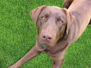 Labrador Retriever – en riktig familjehund