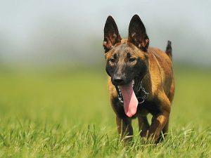Stora hundraser